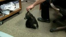 Найденный в США медвежонок играл с полицейскими и прятался под мебелью