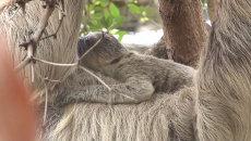 Новорожденный ленивец обнимал маму и карабкался по деревьям в зоопарке Лондона