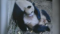 Панда Го Го обнимала новорожденного детеныша в питомнике китайской провинции