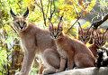 Кошки породы каракал