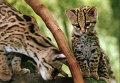 Кошки породы маргай