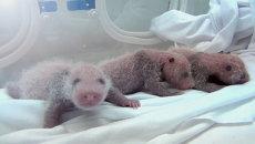 Новое чудо света: панда Улыбка хризантемы родила тройняшек