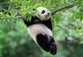 Гигантская панда в Смитсоновском Национальном зоологическом парке в Вашингтоне