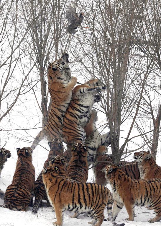 Амурские тигры во время охоты