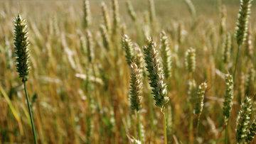 Колосья ржи на поле в Германии