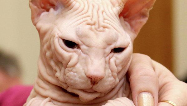 Кошка породы сфинкс. Архивное фото