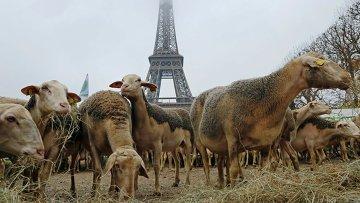 Овцы возле Эйфелевой башней в Париже