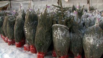 Как выбрать живую елку в горшке и сохранить до высадки в грунт