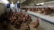 Ветеринары на птичей ферме. Архивное фото