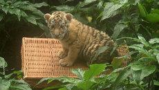 Первая «вылазка» и грозное мяуканье амурского тигренка в берлинском зоопарке