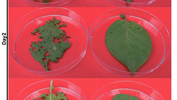 Листья нормальной картошки, изъеденные колорадскими жуками (слева), и трансгенная картошка, защищенная от вредителей РНК (справа)