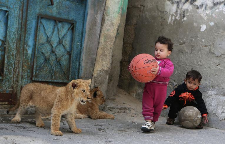 Палестинские дети играют с двумя львятами