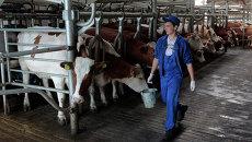 Молочная ферма на Украине. Архивное фото