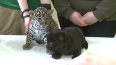 Двоих разномастных детенышей ягуара впервые показали посетителям зоопарка