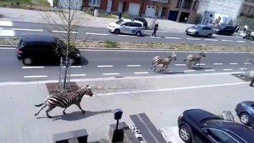 Переполох в Брюсселе – зебры мчатся по улицам города