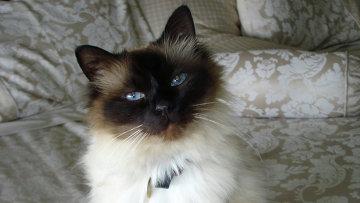 Породистая бирманская кошка Кучин Махал, страдающая от эпилепсии
