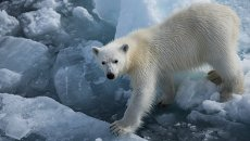 Белый медвежонок. Архив