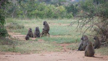 Стая бабуинов, за которой следили ученые