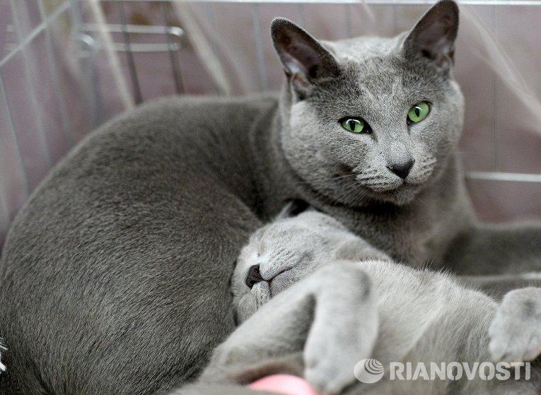 Кот породы чеширский фото