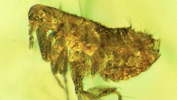 Блоха, застрявшая в янтаре 20-35 миллионов лет назад