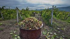 Сбор урожая винограда в Крыму. Архивное фото