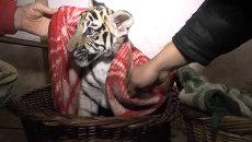 Сотрудники обесточенного сафари-парка в Крыму кутали тигрят в одеяла