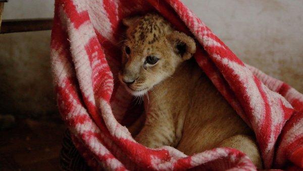 ВУфе ищут владельца львенка, отпустившего его гулять поулицам