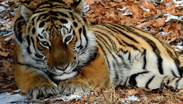 Уссурийский тигр по кличке Амур в вольере Приморского сафари-парка. Архивное фото