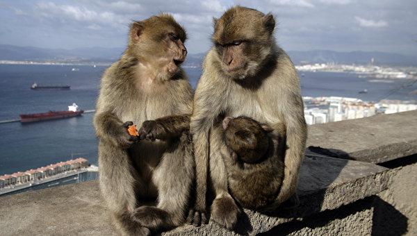 Берберские обезьяны. Архивное фото