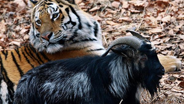 Уссурийский тигр по кличке Амур и козел по кличке Тимур, архивное фото