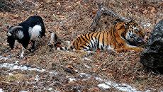 Дружба козла Тимура и тигра Амура в Приморском сафари-парке. Архивное фото