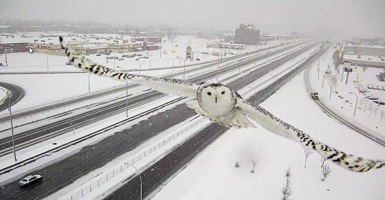 Снежная сова на острове Монреаль, Канада