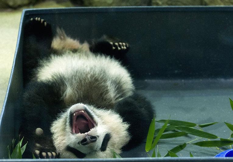 Панда в Национальном зоопарке Вашингтона