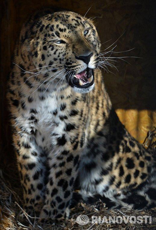 Дальневосточный леопард, прибывший из Чехии, в вольере Приморского Сафари-парка