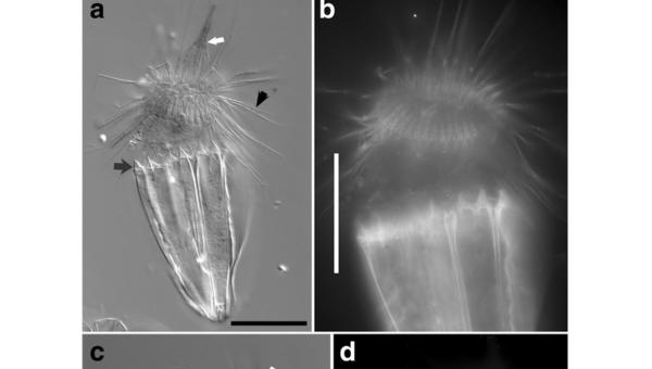 Лорцифера Spinoloricus cinziae