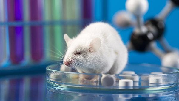 Лабораторная мышь