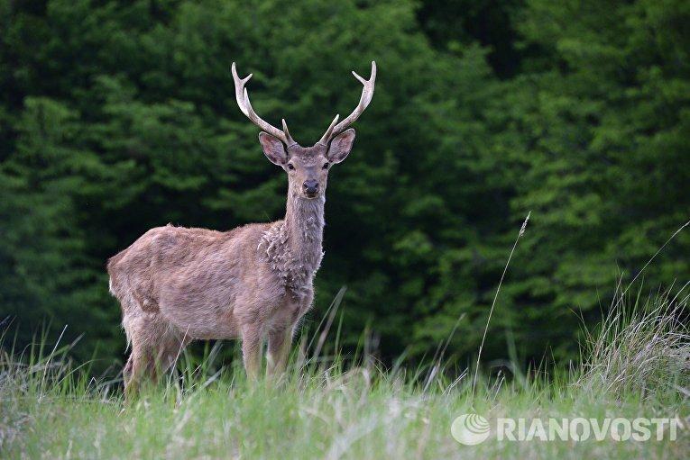 Пятнистый пантовый олень в оленеводческом хозяйстве Алмак в Казбековском районе Дагестана