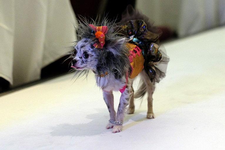 Участник модного показа для домашних животных Pet Fashion Show в Нью-Йорке, США