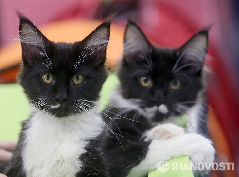 Котята породы мэйкун на выставке кошек и котов День влюбленных котов в КВЦ Сокольники