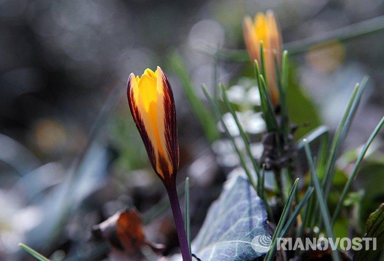 Цветущий крокус в лесу в окрестностях поселка Ай-Даниль в Крыму