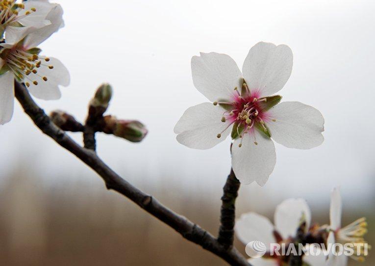 Цветущее дерево в районе села Нижняя Кутузовка у подножия горы Демерджи в Крым