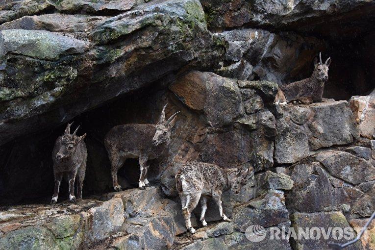 Сибирский горный козел в Зоологическом саду Берлина