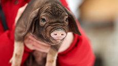Жена селекционера Вячеслава Комова Татьяна с поросенком китайской вислоухой свиньи на собственной ферме в поселке Васкелово