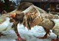 Гуси породы тульский бойцовый на ферме селекционера Вячеслава Комова в поселке Васкелово