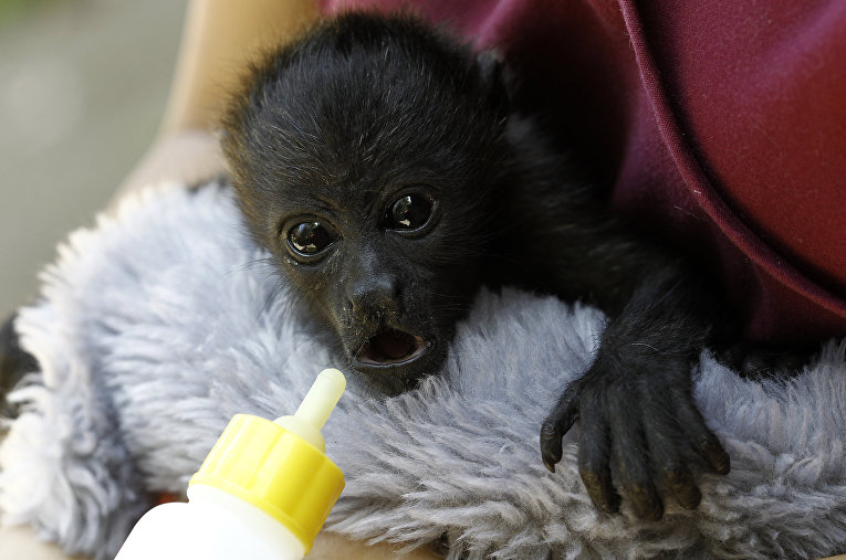 Малыш обезьяны-ревуна в ветеринарной клинике Коста-Рики