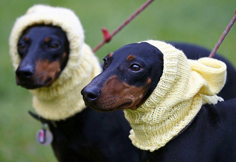 Собаки породы Манчестер-терьер на выставке Crufts Dog Show в Бирмингеме, Англия