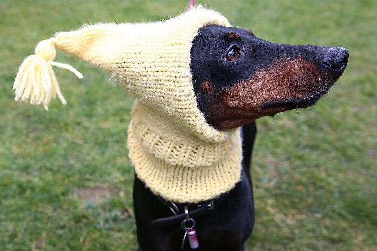 Собака породы Манчестер-терьер на выставке Crufts Dog Show в Бирмингеме, Англия