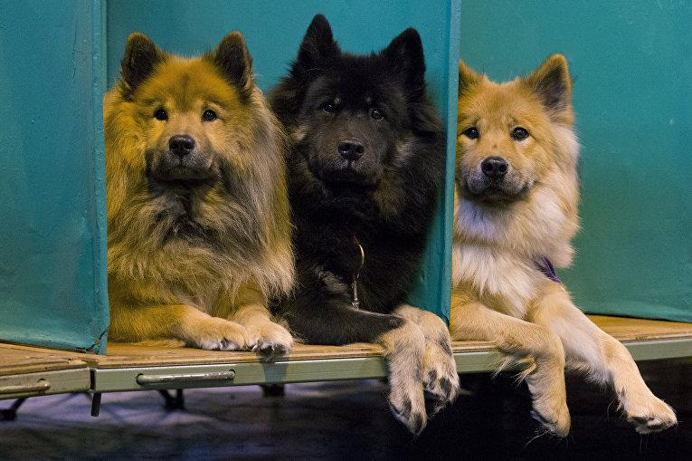 Собаки породы Евразиер на выставке Crufts Dog Show в Бирмингеме, Англия