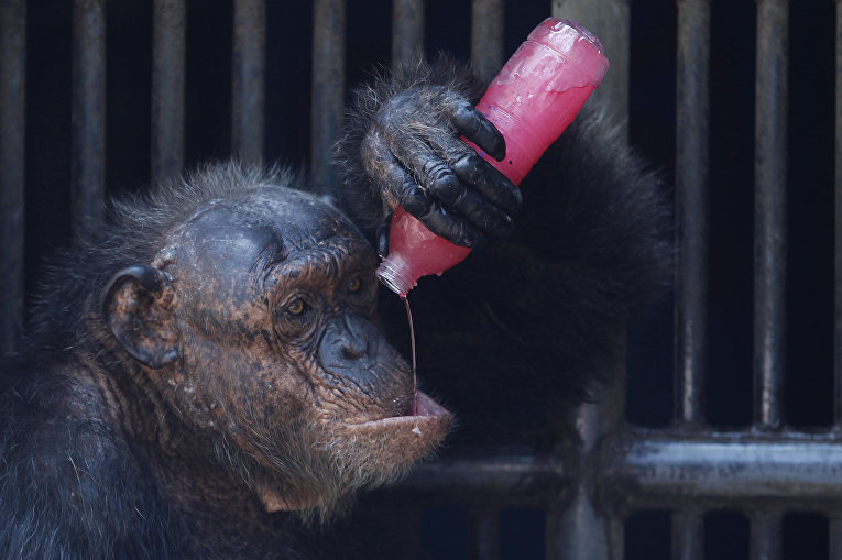 Шимпанзе пьет сладкий прохладительный напиток в зоопарке Бангкока. 17 марта 2016