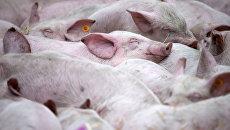 Свиньи. Архивное фото